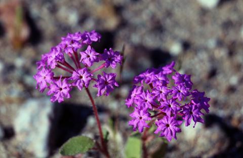 desert sand verbena - Abronia villosa